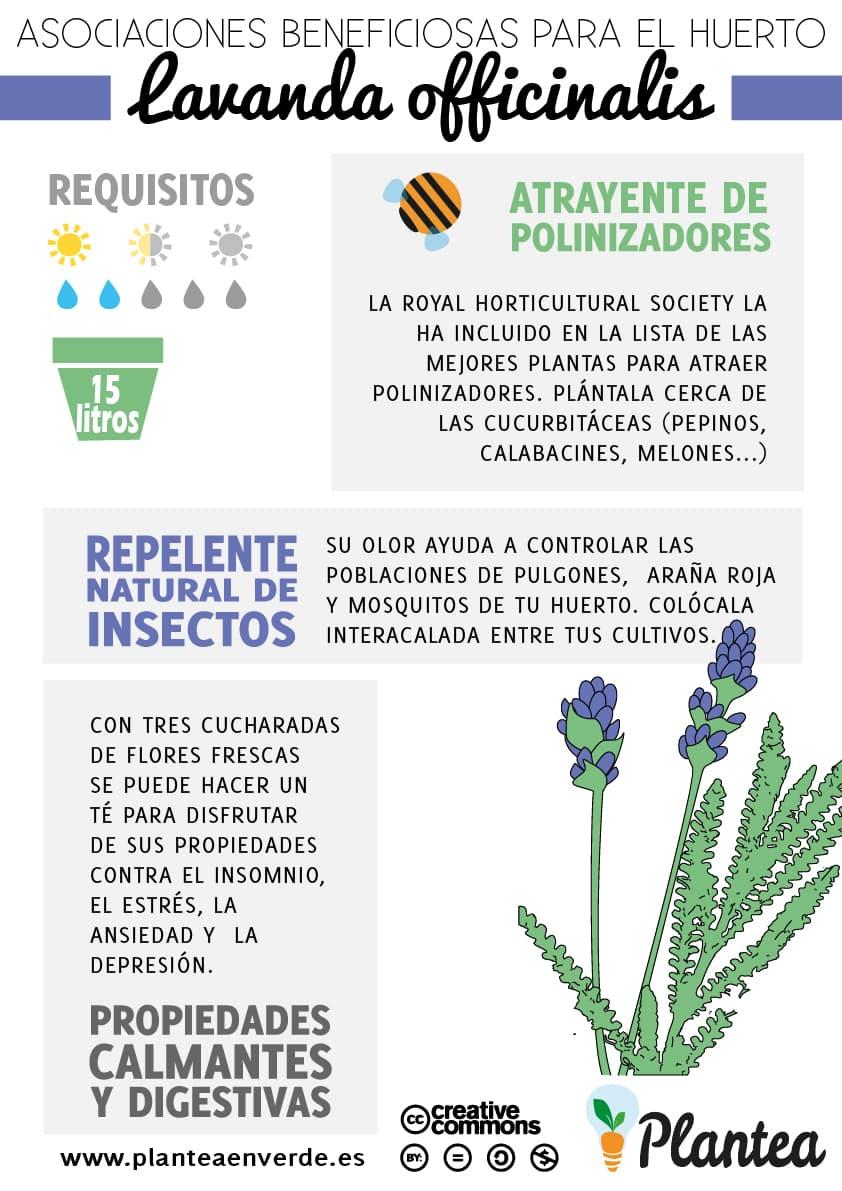 Asociaciones beneficiosas para el huerto lavanda officinalis for Lavanda cultivo o cuidados