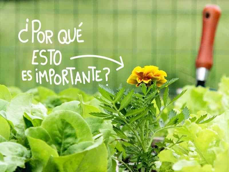La asociaci n de cultivos en el huerto ejemplos Asociaciones de cultivos favorables