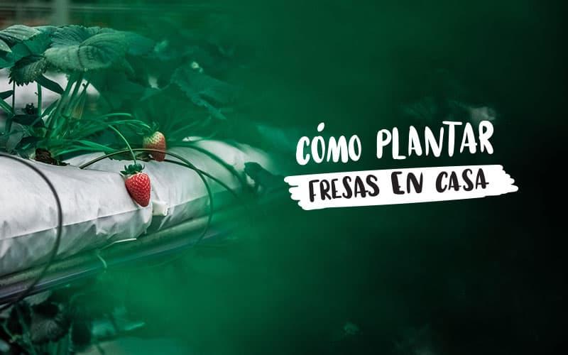 Plantea blog c mo plantar fresas en casa y en el huerto for Como cultivar peces en casa