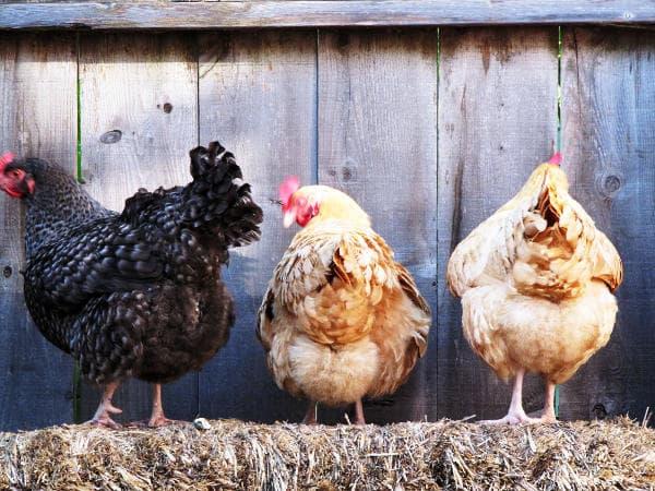 5 razones para criar gallinas en casa plantea en verde - Casas para gallinas ...