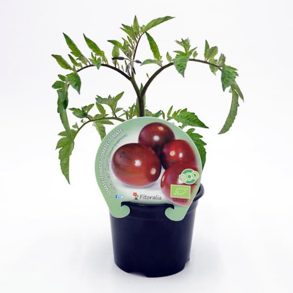 Tomate cherry maceta finest especias naturales cultivadas - Tomates cherry en maceta ...